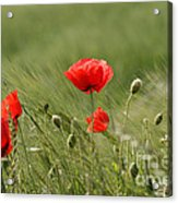 Beautiful Poppies 4 Acrylic Print