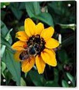 Bee Acrylic Print