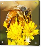 Bee On A Yellow Flower Acrylic Print
