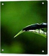 Beetle At Sunrise Acrylic Print