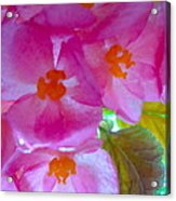 Begonia Debut Acrylic Print