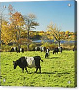 Belted Galloway Cows Grazing On Grass In Rockport Farm Fall Main Acrylic Print