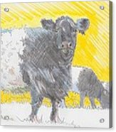 Belted Galloway Cows Acrylic Print