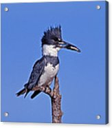 Belted Kingfisher With Fish Acrylic Print