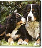 Bernese Mountain Dogs Acrylic Print