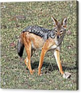 Black Backed Jackal Acrylic Print