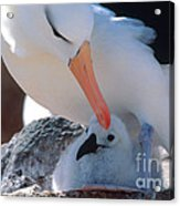 Black-browed Albatross With Chick Acrylic Print