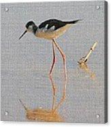 Black Neck Stilt Acrylic Print