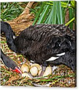 Black Swan At Nest Acrylic Print