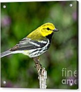 Black Throated Green Warbler Acrylic Print