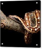 Blood Python Python Brongersmai Acrylic Print