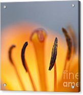 Bloom Of Lily Acrylic Print