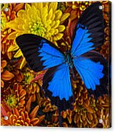 Blue Butterfly On Mums Acrylic Print