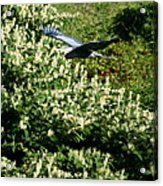Blue Heron Flight  Acrylic Print
