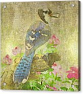Blue Jay With Texture Acrylic Print