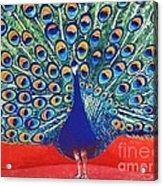 Blue Peacock Acrylic Print