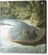 Blue Spotted Fantail Ray  Acrylic Print