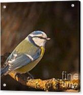 Blue Tit Acrylic Print by Sylvia  Niklasson