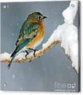 Bluebird In Snowstorm Acrylic Print