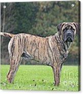 Boerboel Dog Acrylic Print