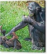 Bonobo Adult And Baby Acrylic Print