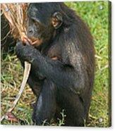 Bonobo Acrylic Print