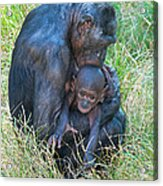 Bonobo Mother And Baby Acrylic Print