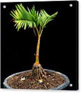 Bonsai Palm Tree Acrylic Print