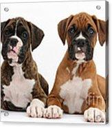 Boxer Puppies Acrylic Print
