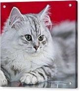British Longhair Kitten Acrylic Print