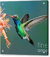 Broad-billed Hummingbird At Ocotillo Acrylic Print