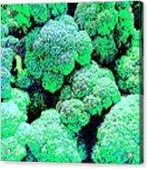 Broccolo Acrylic Print