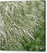 Brome Grass In The Hay Field Acrylic Print