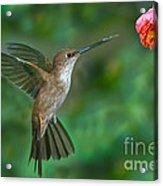 Bronzy Inca Hummingbird Acrylic Print