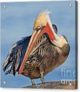 Brown Pelican Preening Acrylic Print