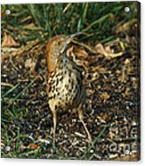 Brown Thrasher Acrylic Print