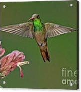 Buff-bellied Hummingbird Acrylic Print