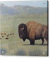 Buffalo In Yellowstone Acrylic Print