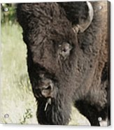 Buffalo Painterly Acrylic Print