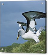 Bullers Albatross With Colorful Bill Acrylic Print
