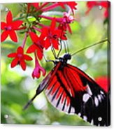 Butterfly On Red Bush Acrylic Print