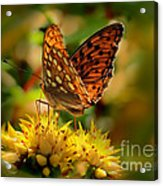Butterfly Acrylic Print by Sylvia  Niklasson