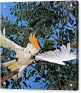 Cacatoes A Huppe Orange Cacatua Acrylic Print
