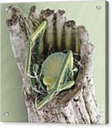 Caddisfly Larva, Sem Acrylic Print
