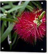 Callistemon Citrinus - Crimson Bottlebrush Hawaii Acrylic Print