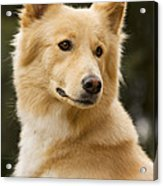 Canaan Dog Acrylic Print