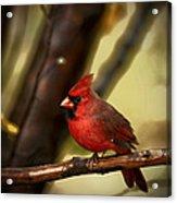 Cardinal Pose Acrylic Print