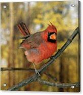 Cardinal Rouge Cardinalis Cardinalis Acrylic Print