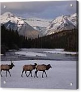 Elk Crossing, Banff National Park, Alberta Acrylic Print