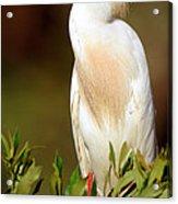 Cattle Egret Adult In Breeding Plumage Acrylic Print